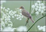 Marsh Warbler / Bosrietzanger / Acrocephalus palustris