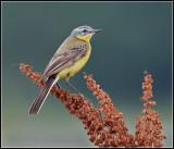 Yellow Wagtail / Gele Kwikstaart / Motacilla flava