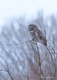 Chouette lapone_0521 - Great Gray Owl