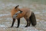 Renard roux_8618 - Red fox
