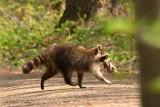 Raton laveur_Y3A3002 - Raccoon