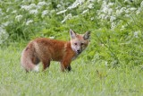 Renardeau roux_2318 - Red fox young