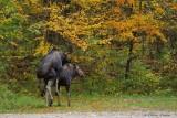 Orignaux_9055 - Moose