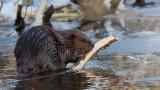 Castor_4012 - Beaver