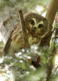 Petite Nyctale_Y3A1880 - Northern Saw-whet Owl