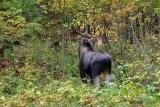 Orignal_8980 - Moose