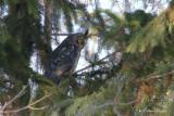 Hibou moyen-duc_Y3A9098 - Long-eared Owl