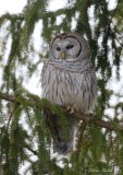 Chouette rayée_Y3A2661 - Barred Owl