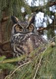 Grand-duc d'Amérique_Y3A3248 - Great Horned Owl