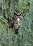 Grand-duc d'Amérique_Y3A3673 - Great Horned Owl