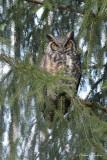 Grand-duc d'Amérique_Y3A3756 - Great Horned Owl