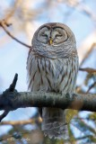 Chouette rayée_Y3A2791 - Barred Owl