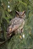 Grand-duc d'Amérique_Y3A3702 - Great Horned Owl