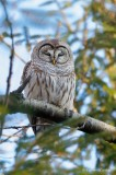 Chouette rayée_Y3A2822 - Barred Owl