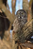 Chouette lapone_2606 - Great Gray Owl