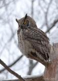 Grand-duc d'Amérique_Y3A4230 - Great Horned Owl