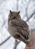 Grand-duc d'Amérique_Y3A4224 - Great Horned Owl