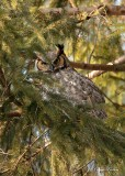 Grand-duc d'Amérique_Y3A4521 - Great Horned Owl