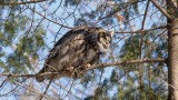 Grand-duc d'Amérique_Y3A5005 - Great Horned Owl