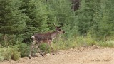 Caribou des bois_0551 - Woodland caribou
