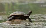 Tortue géographique_Y3A5637 - Map Turtle