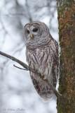 Chouette rayée_7727 - Barred Owl