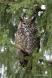 Grand Duc d'Amérique_Y3A8993 - Great Horned Owl