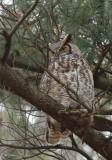 Grand Duc d'Amérique_Y3A9392 - Great Horned Owl