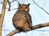 Grand Duc d'Amérique_Y3A9633 - Great Horned Owl