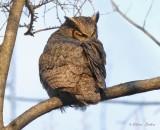 Grand Duc d'Amérique_Y3A9635 - Great Horned Owl