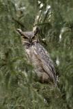 Grand Duc d'Amérique_Y3A9887 - Great Horned Owl