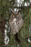 Grand Duc d'Amérique_Y3A9816 - Great Horned Owl