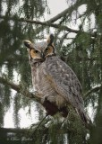 Hibou   Chouette   Nyctale...