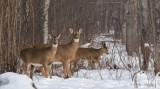 Cerf de Virginie_Y3A0143 - White-tailed Deer