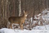 Cerf de Virginie_Y3A0166 - White-tailed Deer