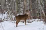 Cerf de Virginie_Y3A0220 - White-tailed Deer