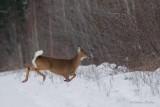 Cerf de Virginie_Y3A1222 - White-tailed Deer