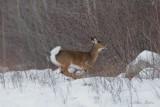 Cerf de Virginie_Y3A1234 - White-tailed Deer