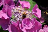 Bumblebee in Our Garden