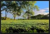 Tea Garden.