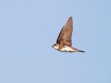 Oeverzwaluw - Sand Martin