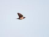 Roze Spreeuw - Rosy Starling