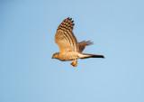 Sperwer - Eurasian Sparrowhawk