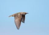 Spreeuw; Common Starling; Sturnus vulgaris