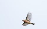 Vink; Common Chaffinch; Fringilla coelebs