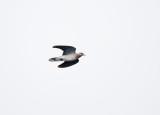 Zomertortel - European Turtle Dove