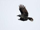 Zwarte Kraai; Carrion Crow; Corvus corone
