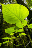 Hobblebush,     Viburnum lantanoides