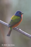 Bunting, Painted (male) @ Everglades