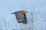 Hawk, Red-shouldered @ Everglades